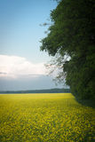 Field of rapeseed with beautiful cloud Stock Image