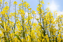 Field of rapeseed with beautiful cloud - plant for green energy Royalty Free Stock Photo