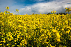Field of rapeseed with beautiful clouds royalty free stock photography