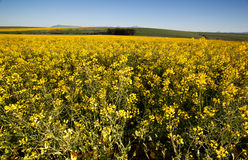 Field of Rapeseed in Bloom Royalty Free Stock Photos