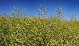 Field of rapeseed stock images