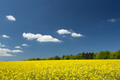 Field rapeseed with a blue sky and white clouds in Germany. Royalty Free Stock Image