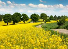 Field of rapeseed - brassica napus Stock Photos