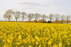 A Field of Rapeseed (Brassica napus) Royalty Free Stock Photography