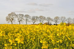 A Field of Rapeseed (Brassica napus) Stock Photo