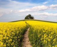 Field of rapeseed (brassica napus) with path way. And small forest - plant for green energy and oil industry stock images