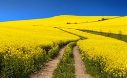 Field of rapeseed (brassica napus) Royalty Free Stock Photo