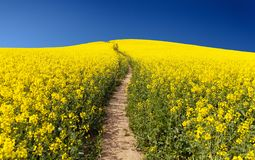 Field of rapeseed (brassica napus) Stock Images
