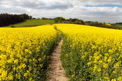 Field of rapeseed (brassica napus) Royalty Free Stock Photos