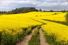 Field of rapeseed (brassica napus) Stock Photos
