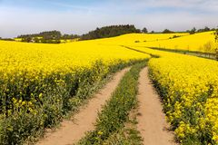 Field of rapeseed (brassica napus) Stock Photography