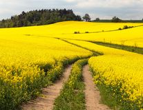 Field of rapeseed (brassica napus) Royalty Free Stock Image