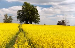 Field of rapeseed - brassica napus Royalty Free Stock Photos