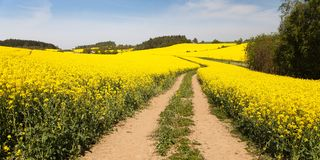 Field of rapeseed (brassica napus) Royalty Free Stock Photography