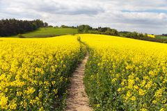 Field of rapeseed (brassica napus) with rural road Royalty Free Stock Photo