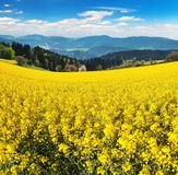 Field of rapeseed, canola or colza. In Latin Brassica Napus with beautiful cloudy sky, rape seed is plant for green energy and green industry, springtime golden Royalty Free Stock Photography