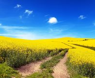Field of rapeseed, canola or colza Royalty Free Stock Image