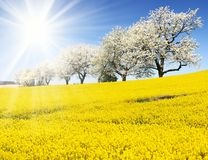 Field of rapeseed, canola or colza. In latin Brassica Napus, sun and alley of flowering cherry trees - rape seed is plant for green energy and oil industry Royalty Free Stock Photography