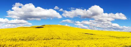 Field of rapeseed, canola or colza royalty free stock images