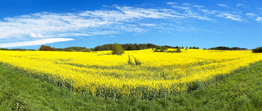 Field of rapeseed, canola or colza Stock Images