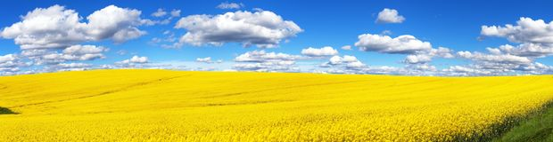 Field of rapeseed, canola or colza. In Latin Brassica Napus with beautiful cloud, seed is plant for green energy and green industry, springtime golden flowering stock image