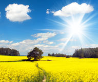 Field of rapeseed, canola or colza Stock Photography
