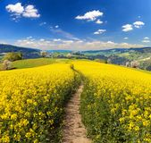 Rapeseed canola or colza field brassica napus. Field of rapeseed, canola or colza in Latin Brassica napus with path way and beautiful cloudy sky, rapeseed is stock photo