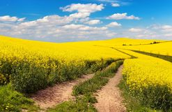 Field of rapeseed, canola or colza Royalty Free Stock Photo