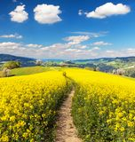 Field of rapeseed, canola or colza and path way Royalty Free Stock Photos