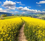 Field of rapeseed, canola or colza and path way Royalty Free Stock Photo