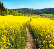 Field of rapeseed, canola or colza with path way Royalty Free Stock Image