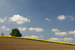 Field with rapeseed and chestnut tree, Germany Stock Photos