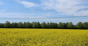 Field of rapeseed, close up. Rural landscape with field of rapeseed / oilseed in full bloom, swaying in the wind. Rape seed oil from these fields is used to stock footage