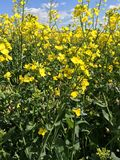 Field of Rapeseed. A close up shot of Rapeseed (Brassica napus Stock Images