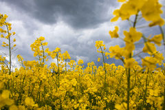 Field of rapeseed Royalty Free Stock Image