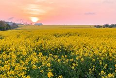 Field of rapeseed, colza field with sunset royalty free stock photos