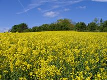 Field of Rapeseed, England. A stunning yellow field of Rapeseed on a typical Enlish summer / spring day Royalty Free Stock Photos