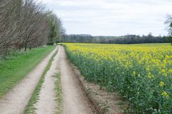 A field of Rapeseed with a farmtrack running alongside stock image