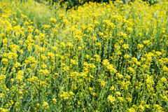 Field rapeseed flower yellow oil plant blossom detail canola crop meadow. Background Royalty Free Stock Photos