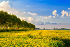 Field with rapeseed flowers and blue sky Royalty Free Stock Photos
