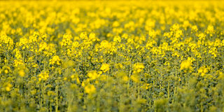 Field Of Rapeseed Flowers Royalty Free Stock Photos