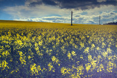 Field of Rapeseed. Landscape photo of a rapeseed (Brassica Nappus) field with electrical poles, clouds and blue sky Royalty Free Stock Photo