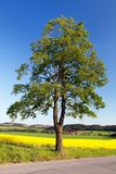 Field of rapeseed and lime tree Stock Photos