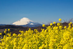 A field of rapeseed with Mount Fuji Royalty Free Stock Photos
