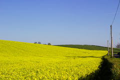 A field of Rapeseed oi an Irish Farm with its bright yellow flower heads, contrasted against a clear blue sky on a sunny day in ea Royalty Free Stock Photography