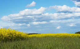 Field of rapeseed oil plants Stock Photos
