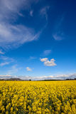 Field of Rapeseed Oil on a sunny day Stock Image