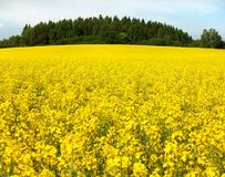 Field of rapeseed plant for green energy Stock Photos