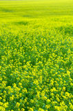 A field of rapeseed plants Stock Images
