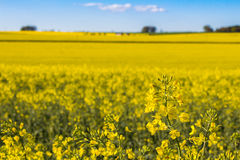 Field of Rapeseed Plants Royalty Free Stock Photography